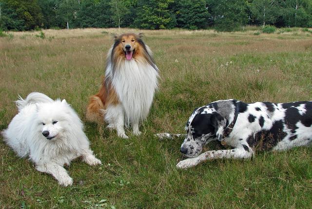 tři psi